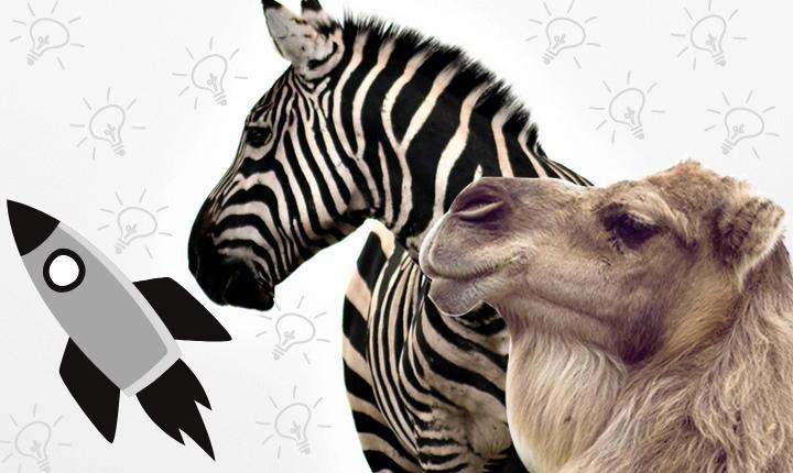 cebras y camellos
